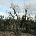 境内の植栽(グミの木)