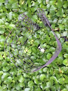涅槃池のホテイ草