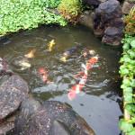 涅槃池の鯉