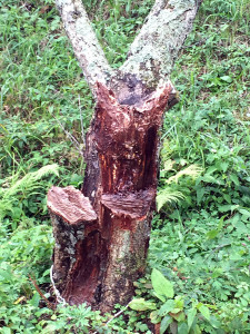 カルスメイトを塗った木の様子