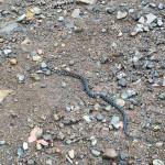 マムシ(毒ヘビ)