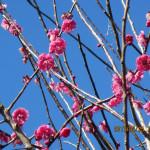 境内の植栽の様子(梅の花)