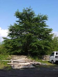 ヒマラヤ杉~