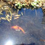 涅槃池(鯉たち)の様子