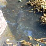 大池(鯉たち)の様子