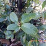 境内の植栽の様子(茶の葉)