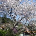 境内の植栽の様子(桜)