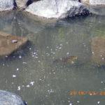 大池の鯉の様子