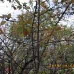 境内の植栽の様子(梅の実)