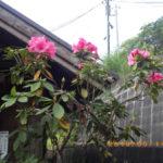 境内の植栽の様子(シャクナゲ)