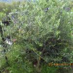 境内の植栽の様子(オリーブ)
