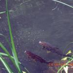 ホタル池の鯉たちの様子