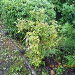 境内の植栽の様子(しきみの木)