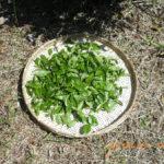 釜炒り茶づくりの様子(茶摘み)