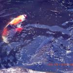 涅槃池の鯉たちの様子