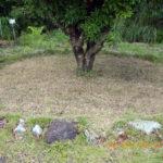 ヤマモモの木の様子(草刈り後)