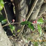 境内の植栽(グシの実)の様子
