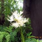 境内の植栽(彼岸花)の様子