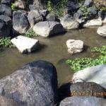 涅槃池の鯉の様子