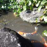 大池の鯉たちの様子