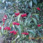 境内の植栽の様子(マンリョウの実)