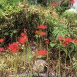 境内の植栽(ヒガンバナ)の様子