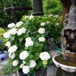 釣鐘と紫陽花