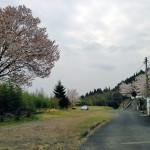春の駐車場。桜がきれいです