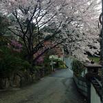 山門前の桜